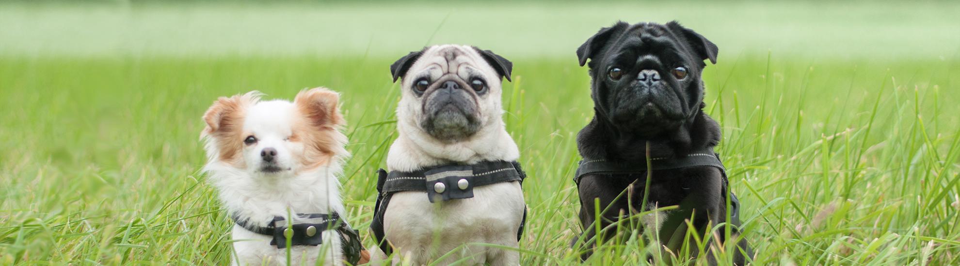 3 Hunde der Tierheilpraxis auf Wiese