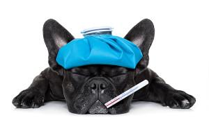 Hund mit Fieberthermometer